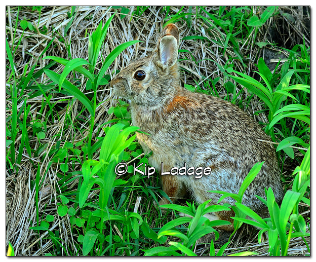 Cottontail Rabbit in Ditch - Image 505305 (© Kip Ladage)