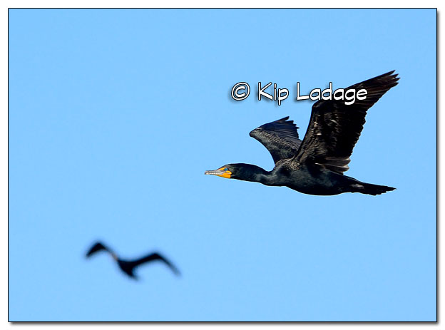 Double-crested Cormorant in Flight - Image 503587 (© Kip Ladage)