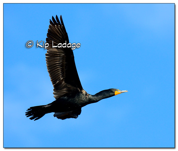 Double-crested Cormorant in Flight - Image 503592 (© Kip Ladage)