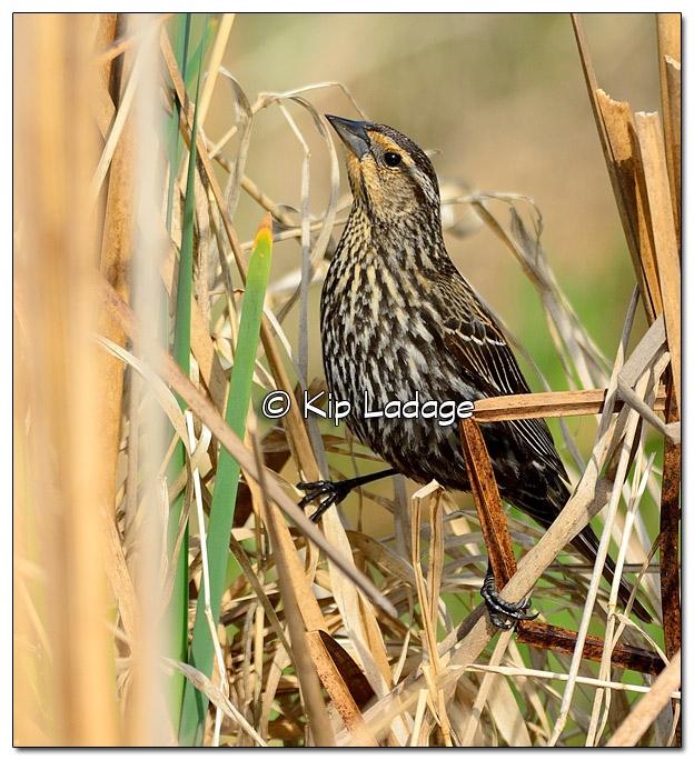 Female Red-winged Blackbird at Sweet Marsh - Image 503166 (© Kip Ladage)