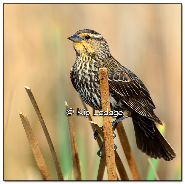 Female Red-winged Blackbird at Sweet Marsh - Image 503182 (© Kip Ladage)