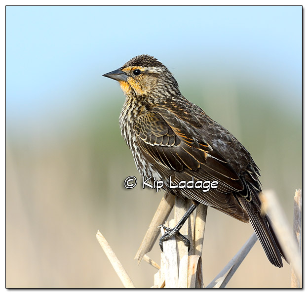 Female Red-winged Blackbird at Sweet Marsh - Image 503200 (© Kip Ladage)