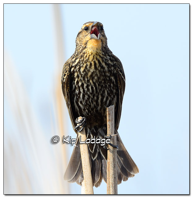 Female Red-winged Blackbird at Sweet Marsh - Image 503201 (© Kip Ladage)