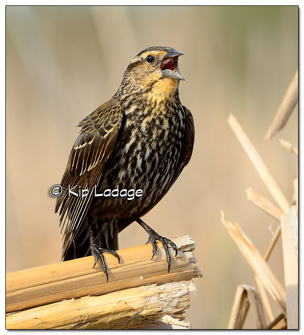 Female Red-winged Blackbird at Sweet Marsh - Image 503216 (© Kip Ladage)