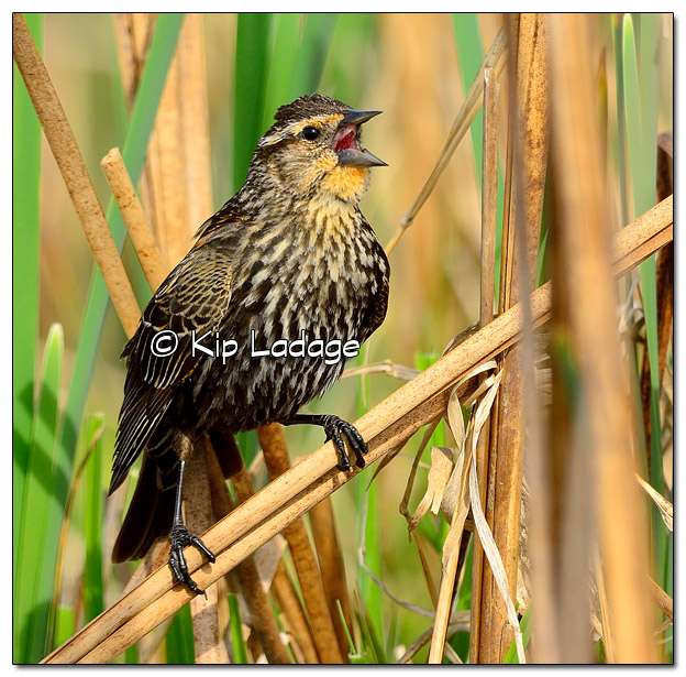 Female Red-winged Blackbird at Sweet Marsh - Image 503221 (© Kip Ladage)