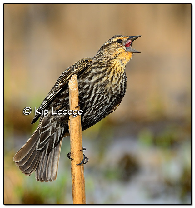 Female Red-winged Blackbird at Sweet Marsh - Image 503231 (© Kip Ladage)