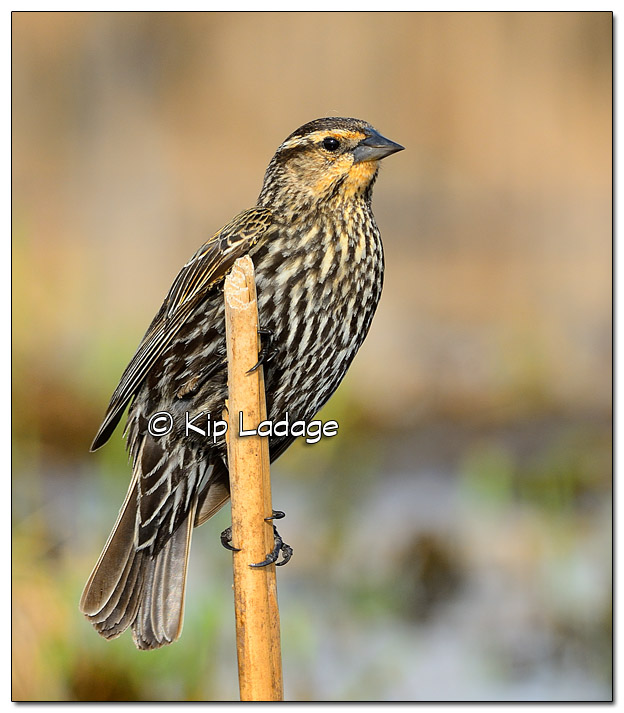Female Red-winged Blackbird at Sweet Marsh - Image 503236 (© Kip Ladage)