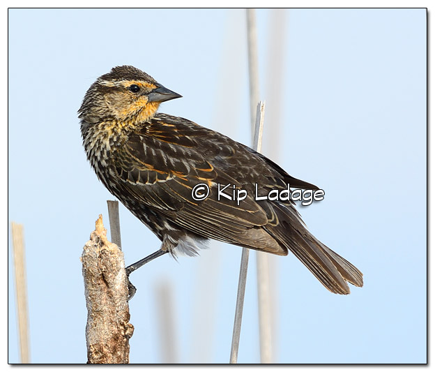 Female Red-winged Blackbird at Sweet Marsh - Image 503255 (© Kip Ladage)