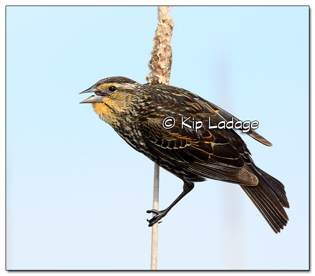 Female Red-winged Blackbird at Sweet Marsh - Image 503261 (© Kip Ladage)