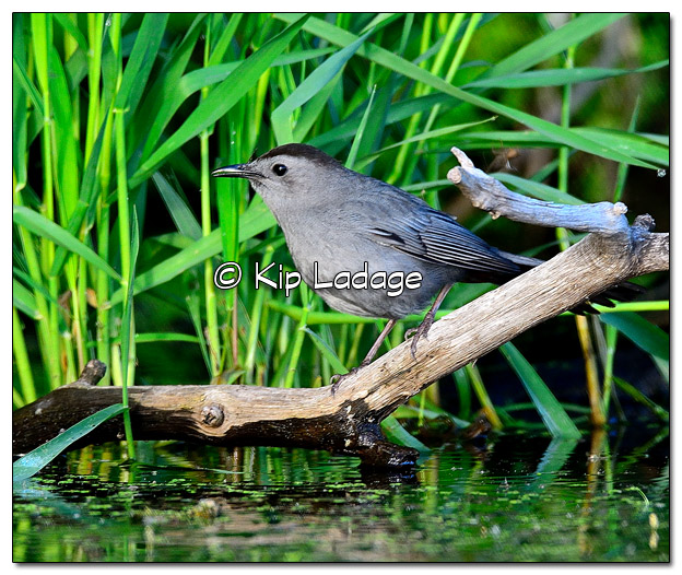 Gray Catbird at Casey Lake - Image 507030 (© Kip Ladage)