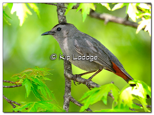 Gray Catbird in Tree - Image 505220 (© Kip Ladage)