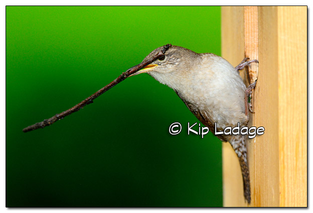 House Wren at Nest Box With Sticks - Image 506967 (© Kip Ladage)