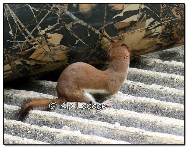 Least Weasel at Sweet Marsh - Image 503445 (© Kip Ladage)