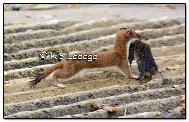Least Weasel with Rodent at Sweet Marsh - Image 504634 (© Kip Ladage)