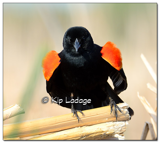 Male Red-winged Blackbird at Sweet Marsh - Image 503270 (© Kip Ladage)