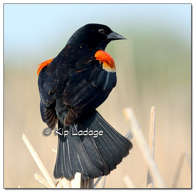 Male Red-winged Blackbird at Sweet Marsh - Image 503318 (© Kip Ladage)