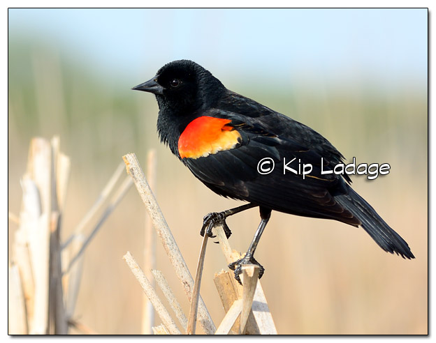 Male Red-winged Blackbird at Sweet Marsh - Image 503330 (© Kip Ladage)