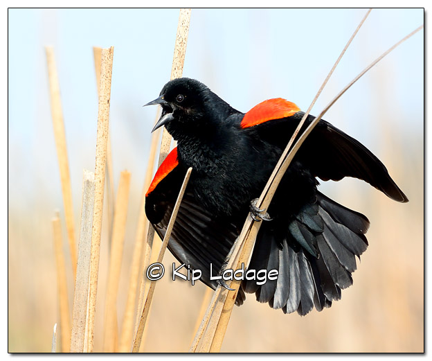 Male Red-winged Blackbird at Sweet Marsh - Image 503348 (© Kip Ladage)