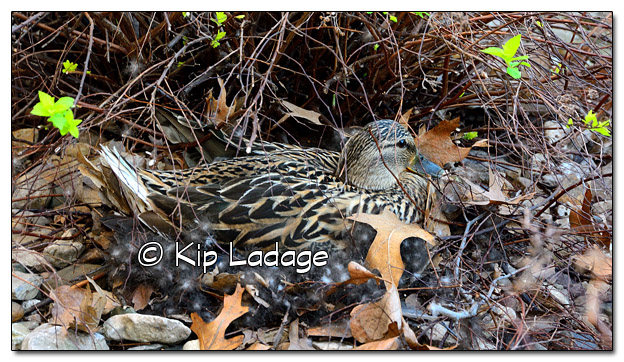 Mallard Duck on Nest - Image 503116 (© Kip Ladage)