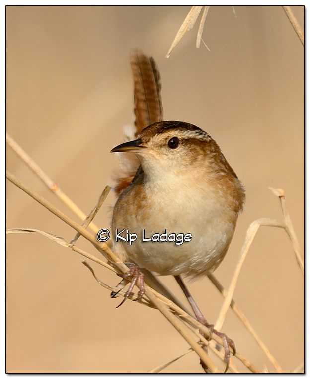 Marsh Wren on Cattails at Sweet Marsh - Image 502533 (© Kip Ladage)