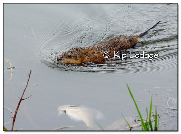 Muskrat Swimming Near Dead Fish - Image 503985 (© Kip Ladage)