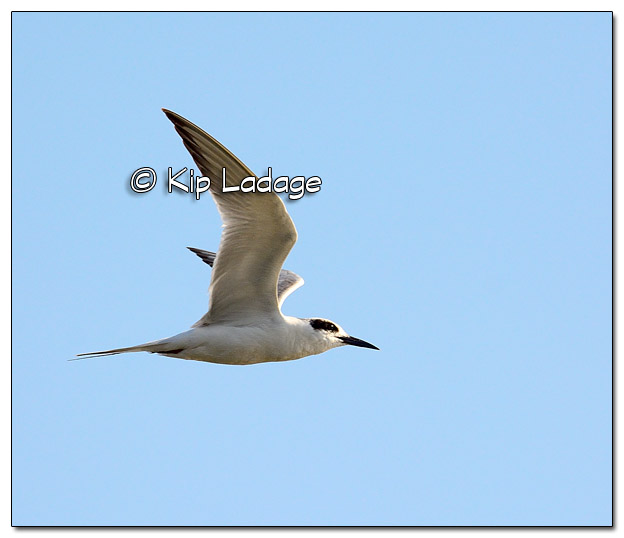 Non-breeding Common Tern in Flight at High Lake - Image 503574 (© Kip Ladage)