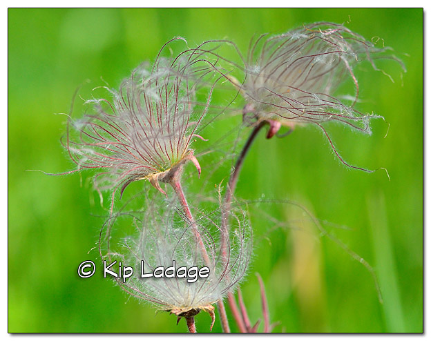Prairie Smoke (Grandfather's Whiskers) - Image 507853 (© Kip Ladage)