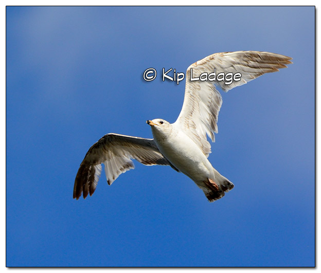 Ring-billed Gull in Flight at High Lake - Image 503579 (© Kip Ladage)