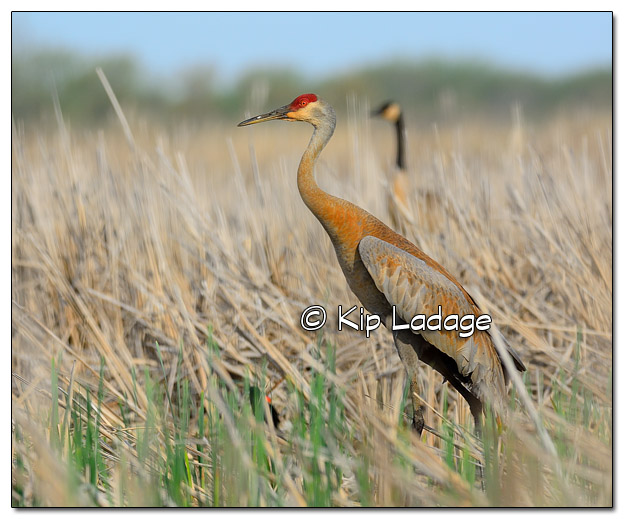 Sandhill Crane at Sweet Marsh - Image 503412 (© Kip Ladage)