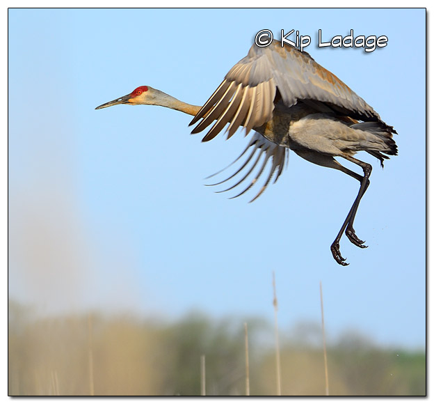 Sandhill Crane at Sweet Marsh - Image 503413 (© Kip Ladage)