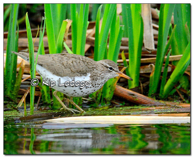 Spotted Sandpiper at Sweet Marsh - Image 504553 (© Kip Ladage)