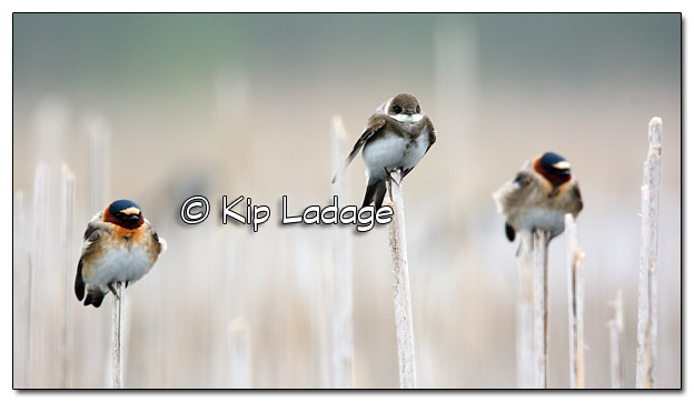 Swallows on Cattails at Sweet Marsh - Image 504573 (© Kip Ladage)