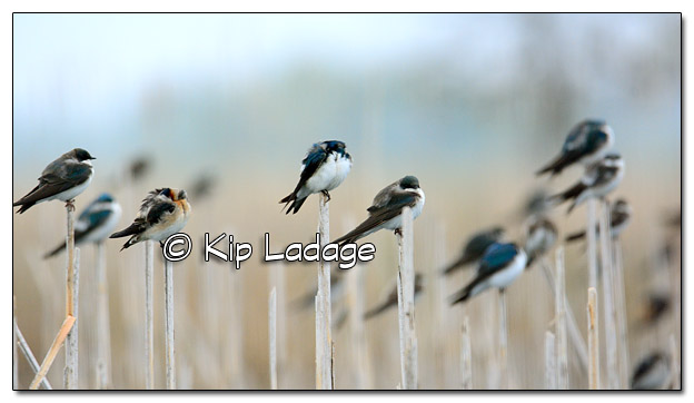Tree Swallows on Cattails at Sweet Marsh - Image 504580 (© Kip Ladage)