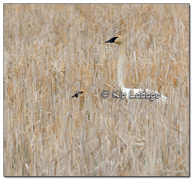 Trumpeter Swans in Cattails - Image 504021 (© Kip Ladage)