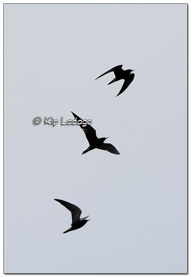 Unknown Birds in Flight at Sweet Marsh - Image 504814 (© Kip Ladage)