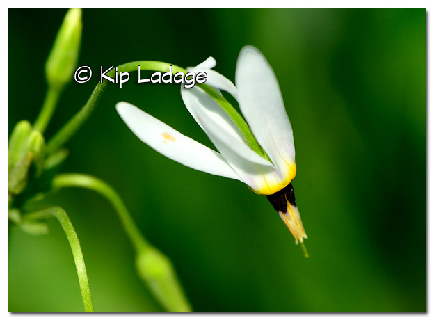 White Shooting Star - Image 507650 (© Kip Ladage)