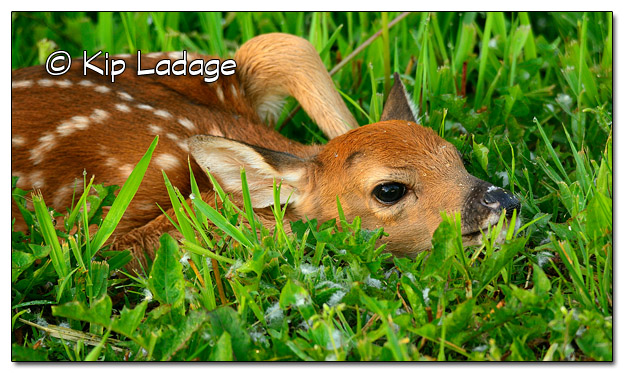 Whitetail Deer Fawn at Hickory Hills Park - Image 507434 (© Kip Ladage)