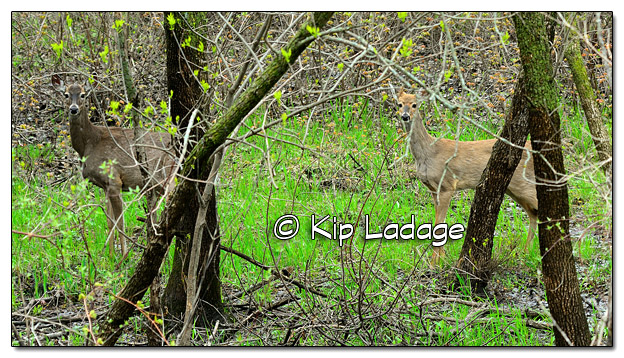 Whitetail Deer in Timber - Image 504096 (© Kip Ladage)