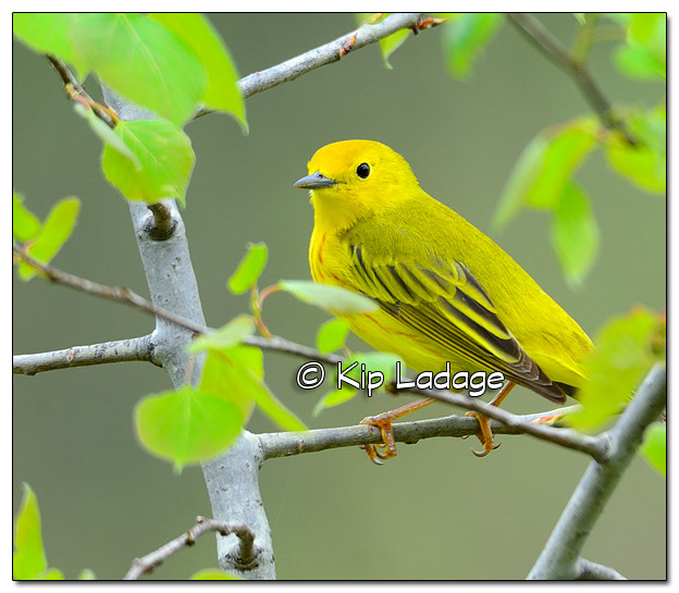 Yellow Warbler at Sweet Marsh - Image 504952 (© Kip Ladage)