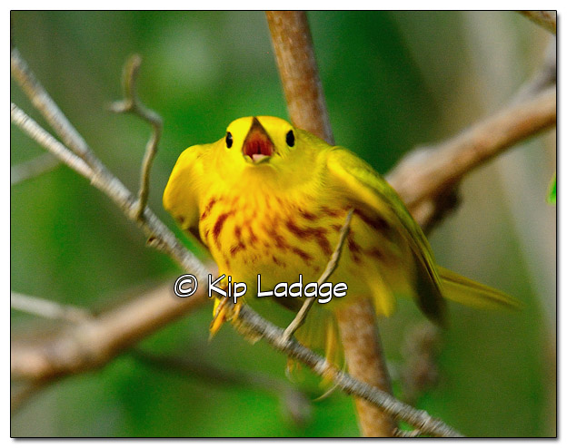 Yellow Warbler at Sweet Marsh - Image 505779 (© Kip Ladage)