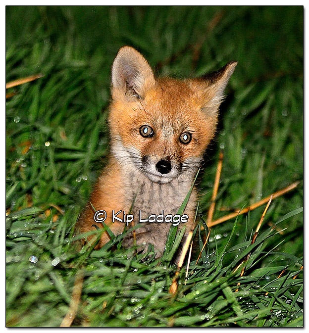 Young Fox at Den - Image 503502 (© Kip Ladage)