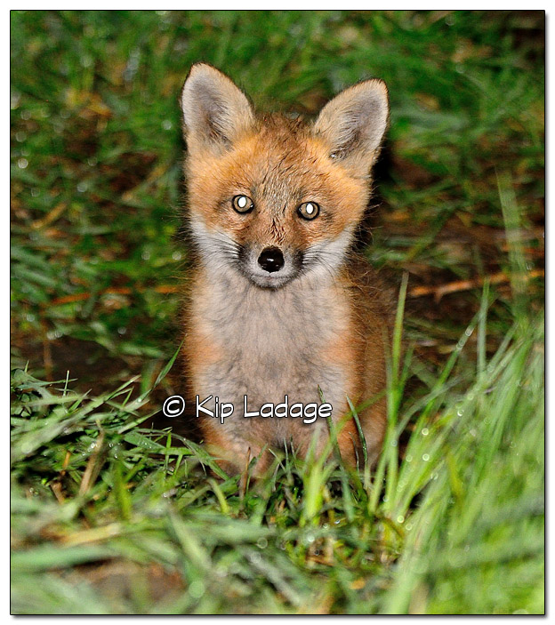 Young Fox at Den - Image 503508 (© Kip Ladage)