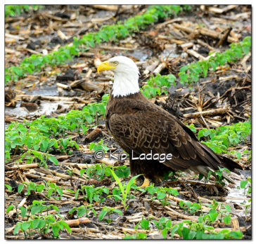 Adult Bald Eagle in Soybeans - Image 508613 (© Kip Ladage)