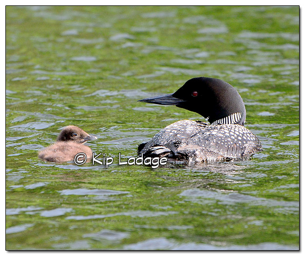 Common Loon with Young in the Boundary Waters Canoe Wilderness Area - Image 510508 (© Kip Ladage)