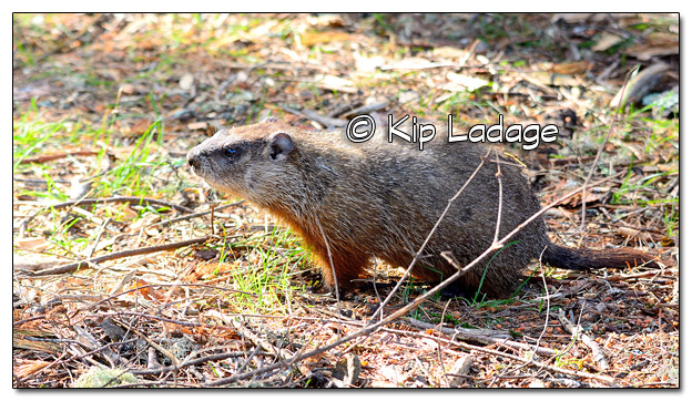 Woodchuck at Camp in the Boundary Waters Canoe Wilderness Area - Image 511017 (© Kip Ladage)