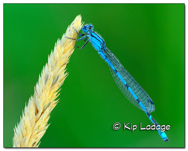 Common Blue Damselfly Along Sweet Water Trail - Image 509613 (© Kip Ladage)