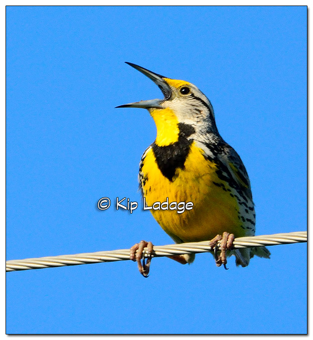 Eastern Meadowlark on Power Line - Image 508253 (© Kip Ladage)