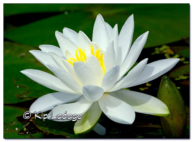 Fragrant Water Lily at Sweet Marsh - Image 509901 (© Kip Ladage)