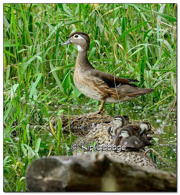 Female Wood Duck with Young on Log - Image 509127 (© Kip Ladage)