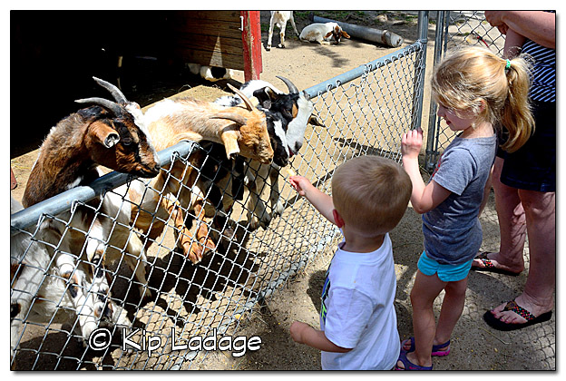 Logan Feeding Goat at Sunrise Petting Zoo - Image DSC_4261 (© Kip Ladage)